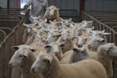 2016-SA-Sheep-Expo_DSC_0416